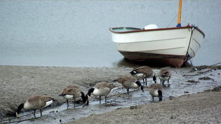 Brent geese, Ceredigion