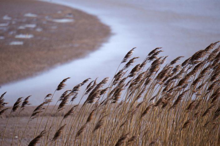 Reeds detail, river Parrett